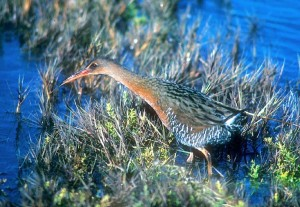California Ridgeway's Rail (formerly Clapper Rail)